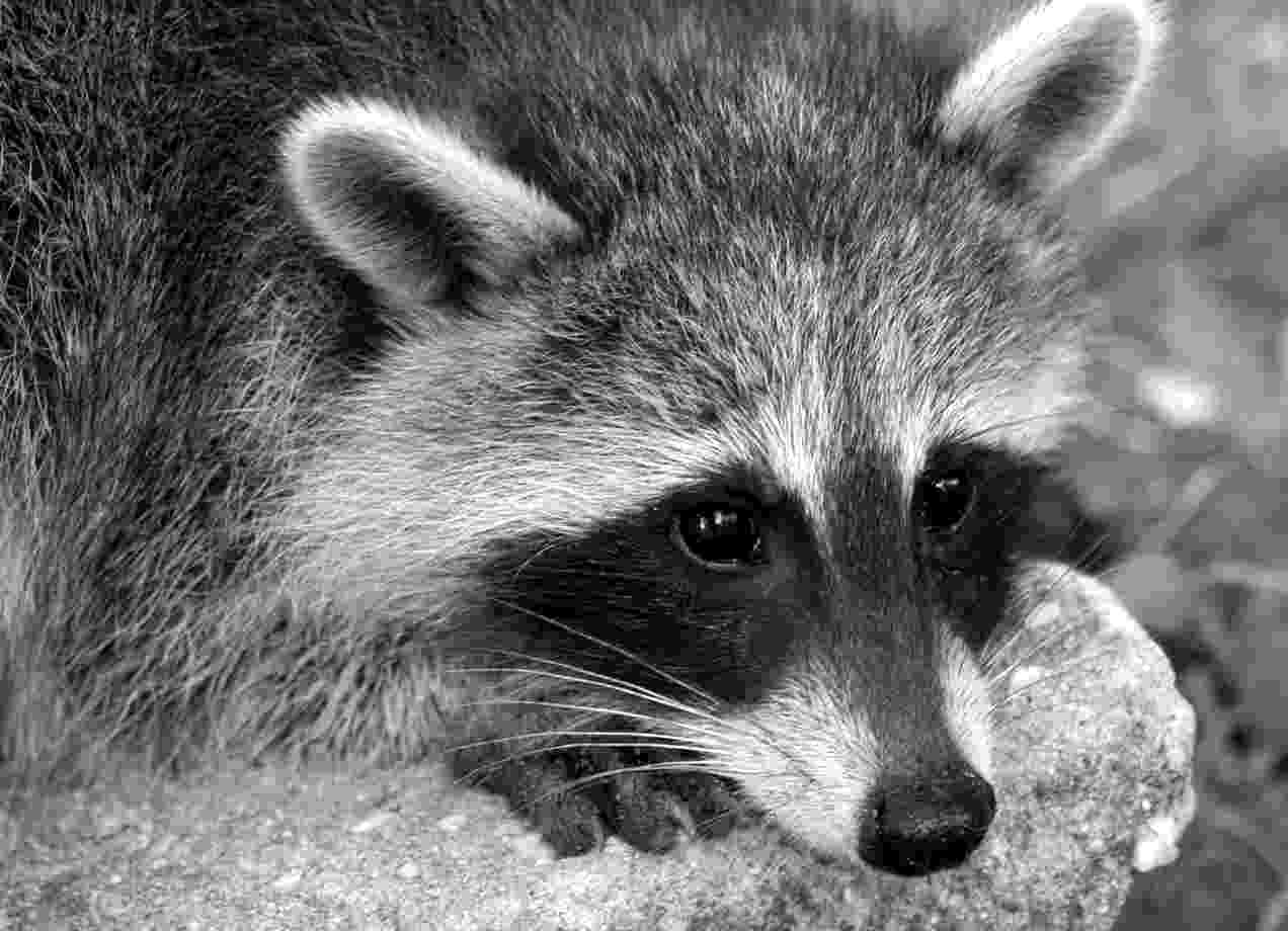 Sad Raccoon